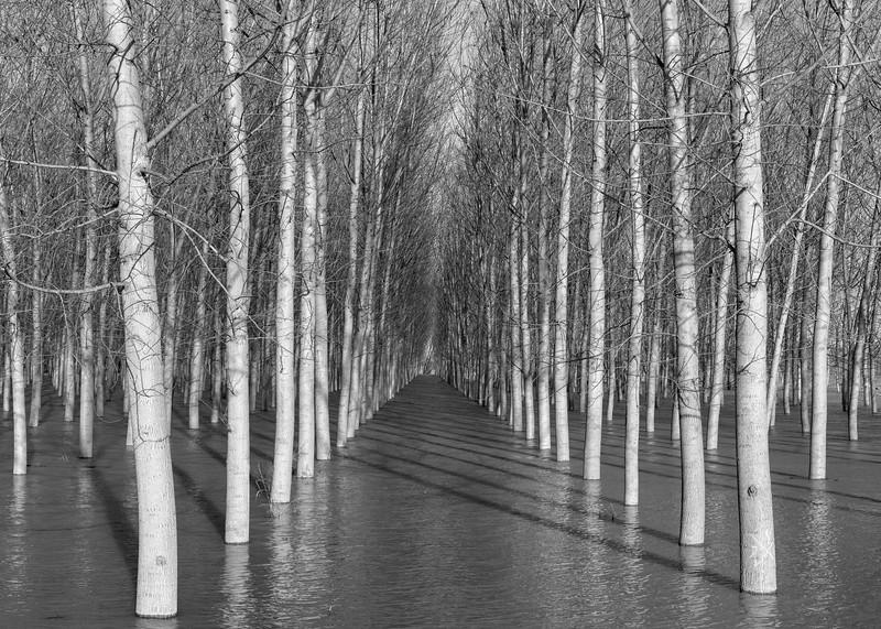 Poplars - Dosolo, Mantova, Italy - December 23, 2019