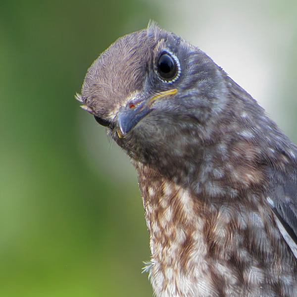 sx30_bluebird_fledgling_145.jpg