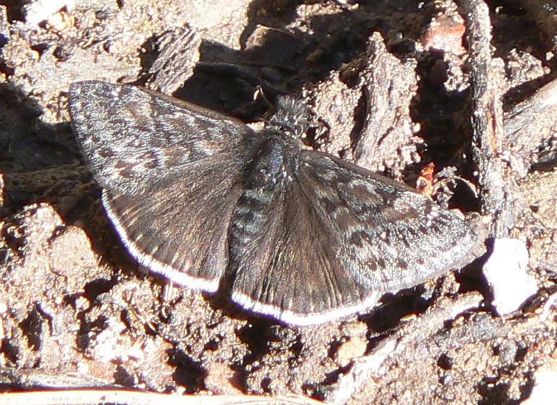 DMJuvDwg909 April 15, 2007   9:f16 a.m.   P1000909 Juvenal's Duskywing, Erynnis juvenalis S. E. Az.