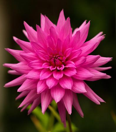 Dahlia Flowers,