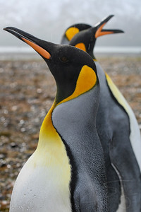King Penguins. South Georgia Island.