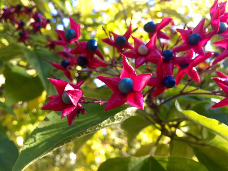 Glorybower's Showy Fruit