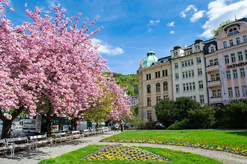 European buildings with blooming pink trees out front