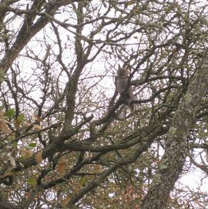 Great Horned Owl in backyard