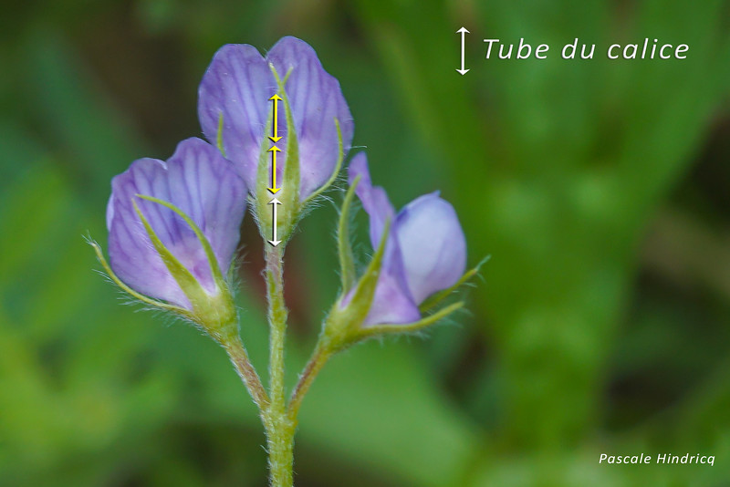 Lentille cultivée (Lens culinaris - Vicia lens)
