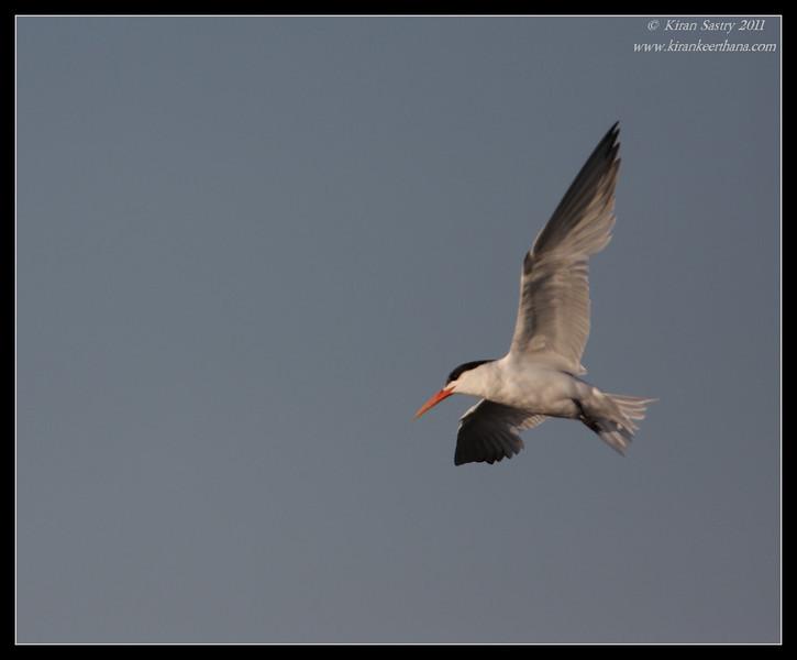 Elegant Tern, Robb Field, San Diego River, San Diego County, California, August 2011