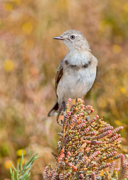 White-fronted Chat - Epthianura albifrons (f) (Kerang, Victoria)