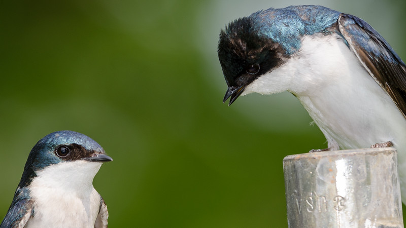 tree-swallow-male-makes-his-point.jpg
