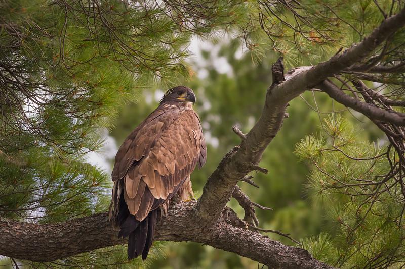 Golden Eagle  / Aigle royal