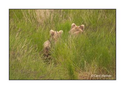 Brown Bears of Katmai