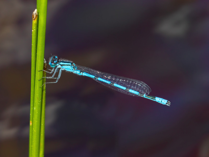 Northern or Vernal Bluet (Enallagma annexum or vernale), Male