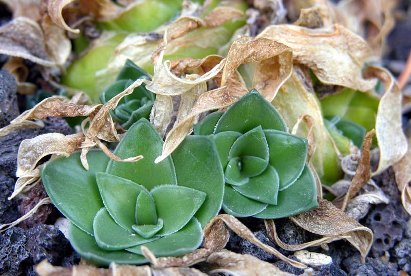 Drimia ciliata