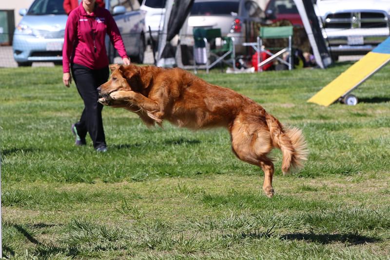 3-31-2018 Shetlant Sheepdog-3315.jpg