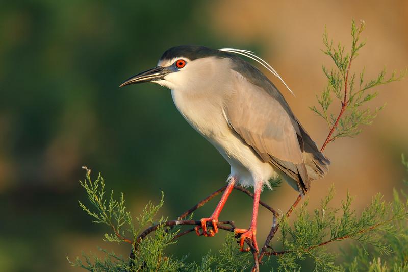 Night Heron MASTER.jpg