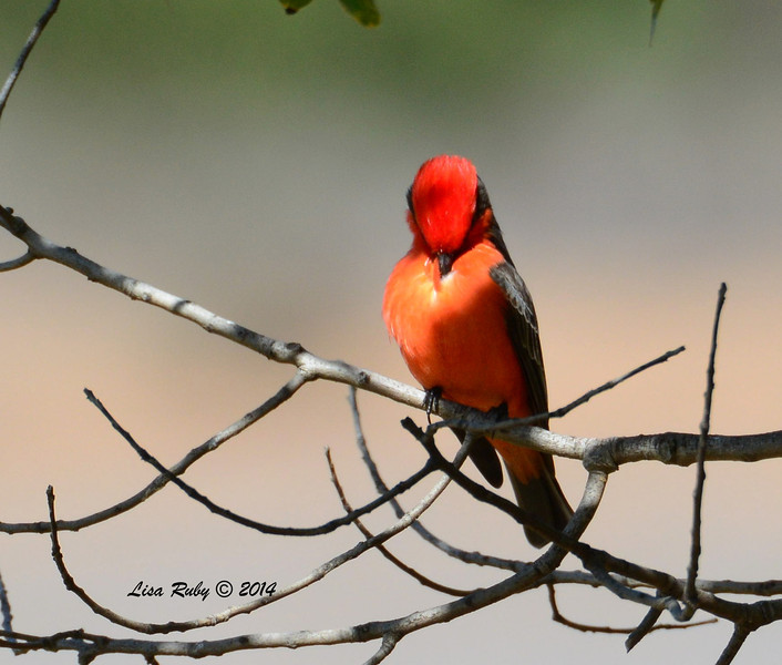 Vermilion Flycatcher - 2/7/2014 - Oak Hill Cemetary, Escondido