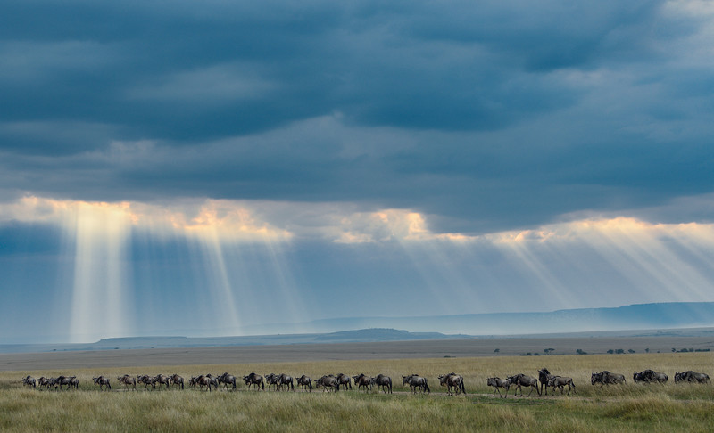 Wildebeest-gnus-head-home-evening-MasaiMara-1.jpg