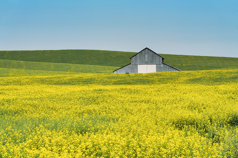 Metal Barn in Canola Field