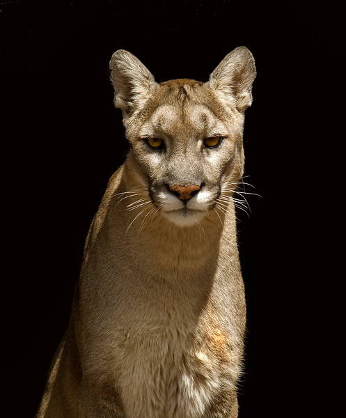 Cougar 07.jpg