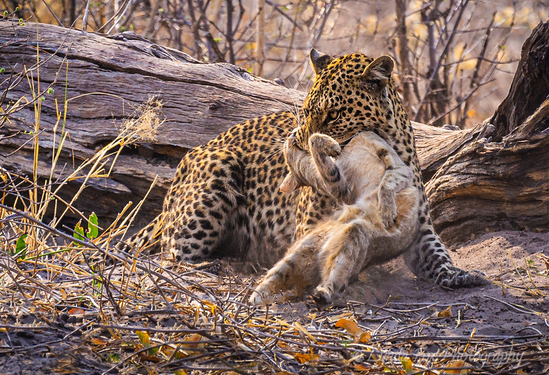 Leopard Victory Hunt