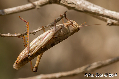Various Orthoptera