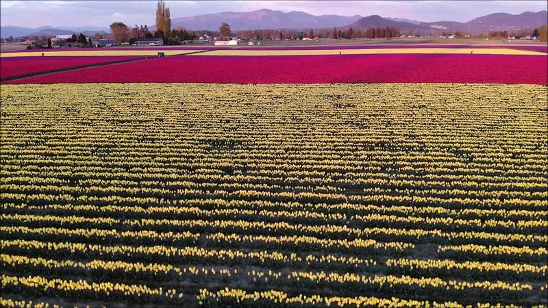 Tulips2.mp4