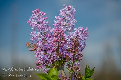Blue Boy Lilac - Syringa x hyacinthiflora 'Blue Boy'