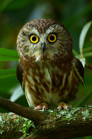 Northen Saw-whet Owl