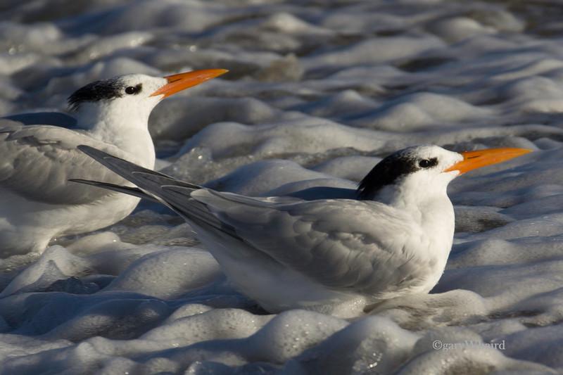 Royal Tern Foam Duo