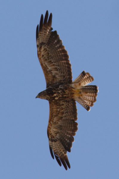 Swainson's Hawk dark morph second summer at Firebaugh, CA (07-18-2009)