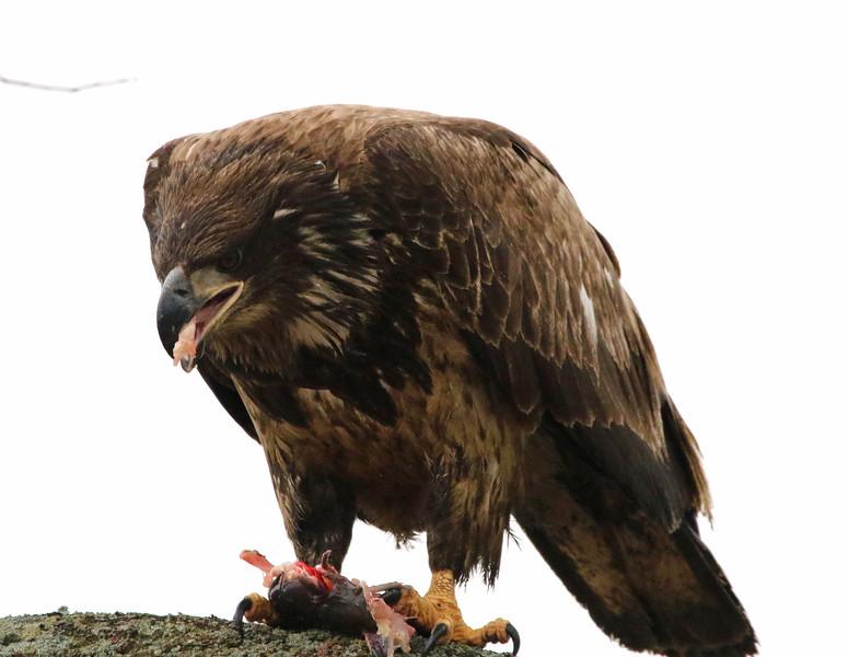 bald eagle with fish 2020 6.jpg