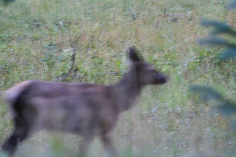 20080911-15 - Rocky Mountain NP - 12 (Fuzzy) Elk.JPG