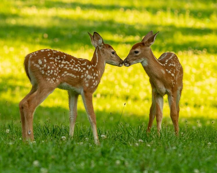 06_24_18_deer-9881.jpg