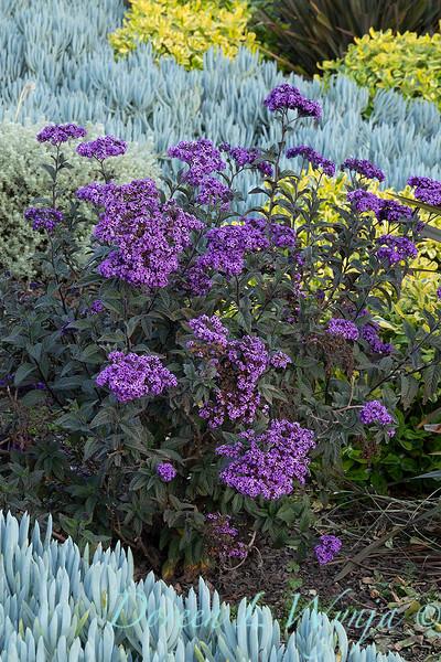 Heliotropium arborescens 'Iowa' xeriscape_9080.jpg