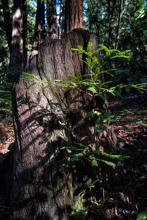 20161118 Muir Woods