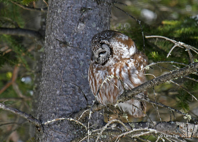 Boreal Owls in Two Harbors MN - 2/13/2013