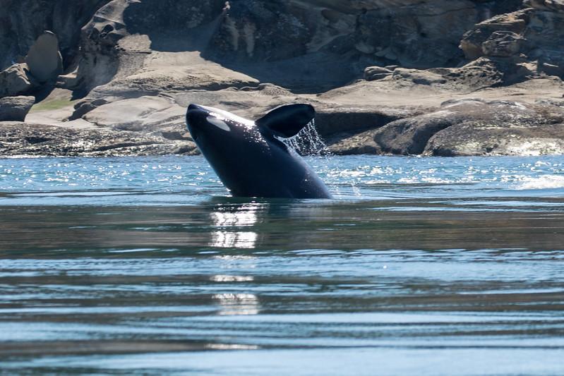 Orcas -  073115-098.jpg