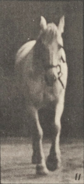 Horse Bob walking, free, ossification of cartilage, right front foot