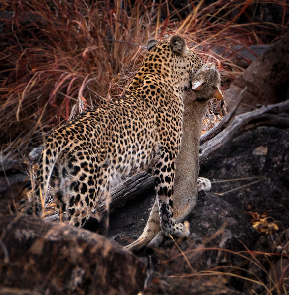 Leopard and Wild Cat
