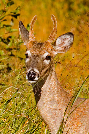 White-tailed Deer - Taconite Harbor, MN