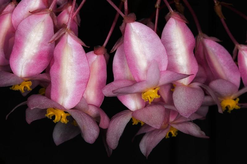 begonia-flowers.jpg