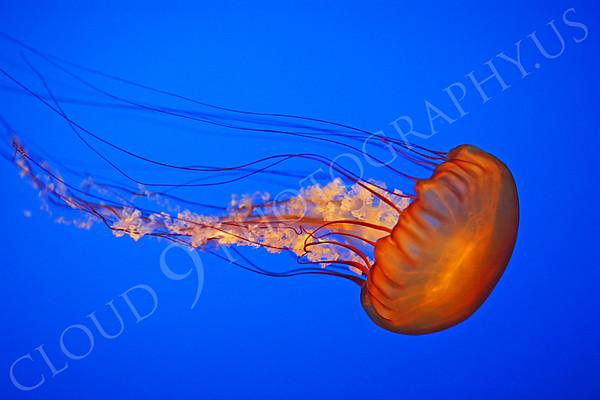 Jellyfish Wildlife Photography
