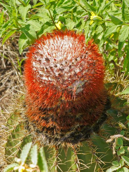 Cactus on Hassel Island, St Thomas