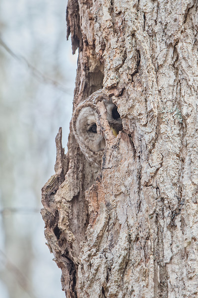 #722 Barred Owl