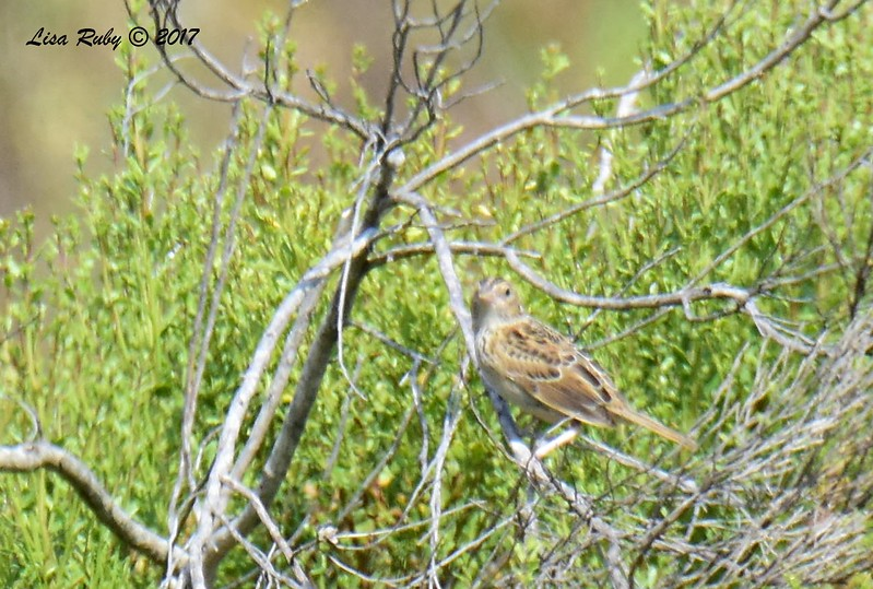 Grasshopper Sparrow  - 6/21/2017 - Penasquitos Canyon West