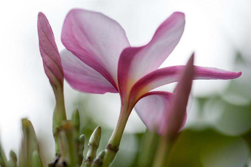 winter frangipani