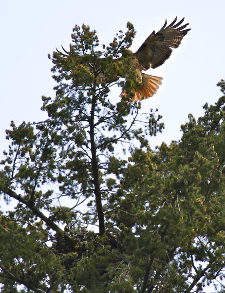 May 19, 2012 Hawk babies   4450.png