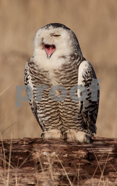 Snowy owl 4530c.jpg