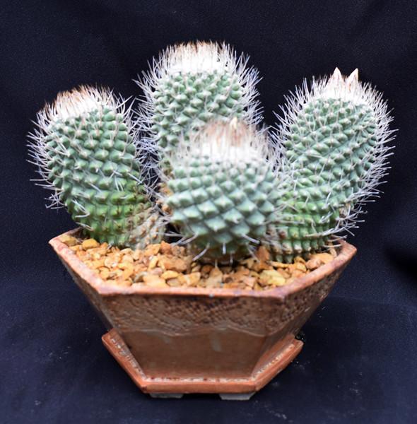 Strombocactus disciformis.jpg