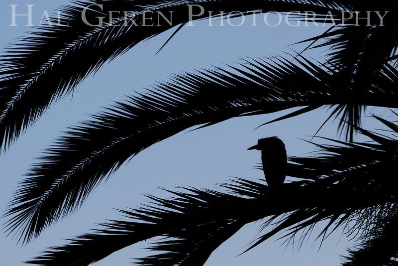 Black Crowned Night Heron Fledgling Newark, California 1304N-BFS1