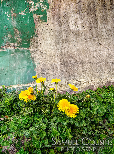 Some dandelions growing in front of a concrete wall.